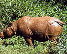 Sumatran rhinoceros (&lt;i&gt;Dicerorhinus sumatrensis&lt;/i&gt;).