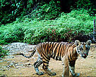 Young tiger wandering around with its mother (not shown on the picture) in Rimbang Baling-Bukit Tigapuluh Corridor, Riau, Indonesia.