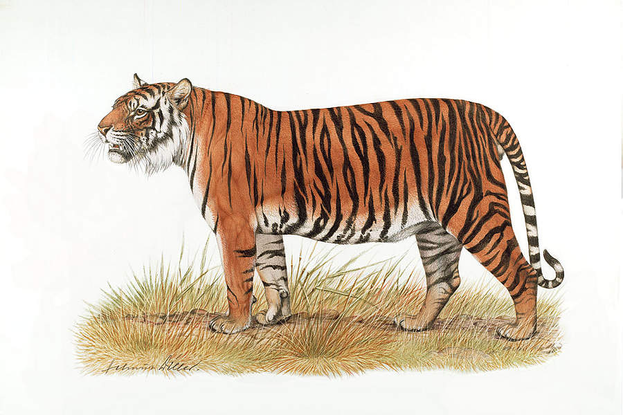 Tiger Drawing Tigers And Drawings On Pinterest