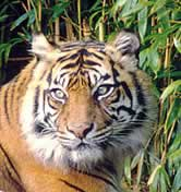 Sumatran tiger (Panthera tigris sumatrae) / &copy;: WWF-Canon / Frdy MERCAY