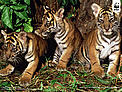 Three young cubs Sumatran tiger cubs (Panthera tigris sumatrae). / &copy;: Alain Compost / WWF-Canon