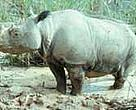 Sumatran rhino (&lt;I&gt;Dicerorhinus sumatrensis&lt;/I&gt;).