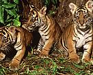 The new national park offers a better future for Sumatran tigers.