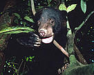 Sun bear (&lt;i&gt;Helarctos malayanus&lt;/i&gt;). / &copy;: WWF-Canon / Terry DOMICO