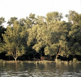 Mangrove forest on an island in the Sunderbans Tiger Reserve, Ganges Delta, India. / &copy;: WWF-Canon / Gerald S. CUBITT