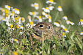 European souslik (ground squirrel) in Slovakia / ©: Konrad Wothe/Wild Wonders of Europe/WWF