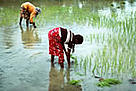  Planting rice in the rice fields of the west coast, Sri Lanka. / &copy;: WWF-Canon / Mauri RAUTKARI