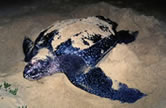 Leatherback turtle laying eggs on the beach. / ©: WWF-Canon / Martin HARVEY