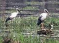 Asian openbill (<i>Anastomus oscitans</i>) depends on wetlands to survive. Its long ... / ©: WWF-Canon / Helena Telkanranta