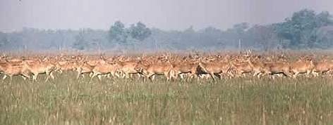 Swamp deer enjoy the company of their kind, often forming herds of hundreds of animals. rel=