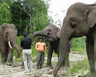 Elephants and WWF staff form the flying squads in Tesso Nilo National Park, Riau Province, Sumatra, Indonesia. Their job is to drive back wild elephants that approach human settlements, where they can cause considerable damage, injuries and even death. Encroachment by palm oil plantations into elephant habitat have greatly increased conflicts between humans and elephants.