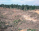 Illegal logging for paper industry and forest clearing for oil palm plantation is threatening to destroy Indonesia's Tesso Nilo forest completely.