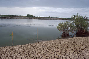 Severely degraded mangroves. Rising sea levels and the clearing of native mangroves for commercial shrimp and salt farms has contributed greatly to the destruction of large tracts of coastal mangroves. Bang Khun Thian district, Bangkok.