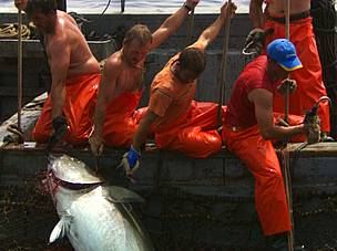If overfishing of tuna, particularly the Atlantic bluefin tuna, continues, the world fisheries will ... / &copy;: WWF