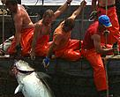 If overfishing of tuna, particularly the Atlantic bluefin tuna, continues, the world fisheries will be faced with an ecological disaster.
