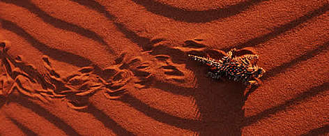 Thorny devil (&lt;i&gt;Moloch horridus&lt;/i&gt;) making tracks in the sand, endemic to desert ... rel=