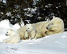 Threatened polar bear mother and cubs in Hudson Bay.