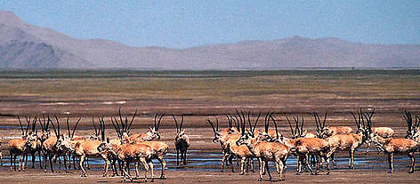 Chiru or Tibetan antelope (&lt;i&gt;Pantholops hodgsonii&lt;/i&gt;). A large herd on the Aqik Lake ... rel=