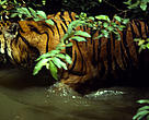 Sumatran tiger in the water, Sumatra, Indonesia.