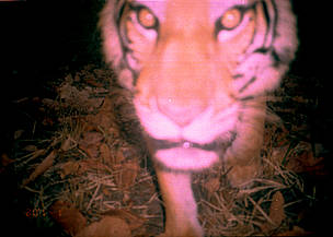 A tiger close up to the camera, sniffing it, caught by the flash, image is slightly blurred.