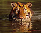 Indochinese tiger (Panthera tigris tigris).