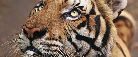 Tiger orphaned by poachers in Thailand.  rel=