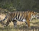 Indo-chinese tiger (Panthera tigris corbetti)