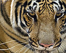 The tiger is the largest species of all cats.