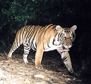 Tiger captured on film in Malaysia / &copy;: WWF-Malaysia / Mark Rayan