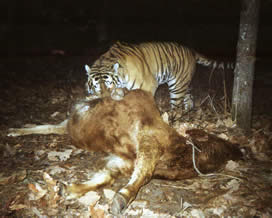 An Amur (Siberian) tiger caught on film by a camera trap in the Hunchun National Nature Reserve, ... / &copy;: Hunchun National Nature Reserve
