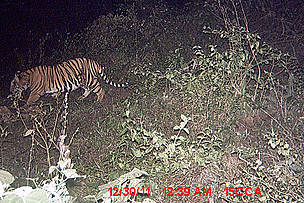 http://awsassets.panda.org/img/tiger_in_kanchanjuri_corridor_copy_wwf_india_1_416250.jpg