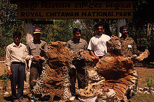 Confiscated tiger and leopard skins and bones at the Royal Chitwan National Park, Nepal.