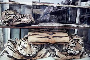 The skins of Indochinese tiger (Panthera tigris corbetti) and other rare cats are openly displayed ... / ©: WWF-Canon / Adam OSWELL