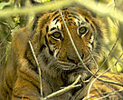 A female Bengal tiger (Panthera tigris tigris) resting in the undergrowth of a mangrove forest in the Southeast Sundarbans, Khulna Province, Bangladesh.