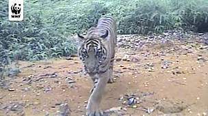 tiger cubs video camera trap / &copy;: WWF Camera trap