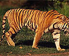Tigers sometimes prey on cattle, bringing them into conflict with people.