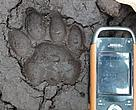 A fresh footprint of a Sumatran tiger was found close to an area where 500 hectares of High Value Conservation Forest was cleared