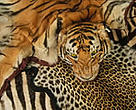 Tiger and other skins confiscated at Heathrow Airport, UK. Thanks to WWF and TRAFFIC, trade in endangered species inside the UK is now an arrestable offence.&lt;BR&gt;