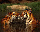 Indian tigers in the water