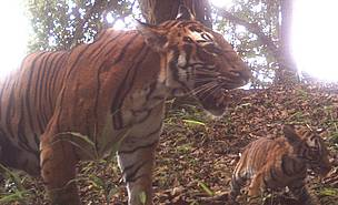Tiger with cub at chungsing (1700 m), the corridor linking RMNP and Phibsoo Wildlife Sanctuary