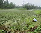 Tikauli Lake encroached by invasive water plants.