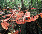 Illegal logging contributes heavily to the destruction of biodiversity and the impoverishment of millions of people that depend on forests for food and income. Madre de Dios, Peru.