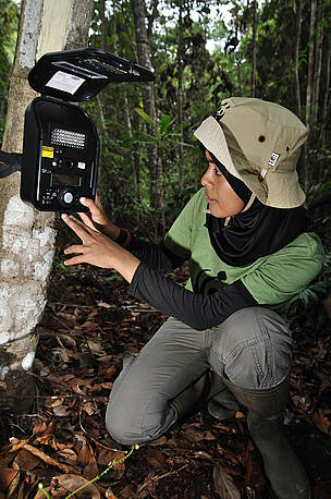 tiger tigers camera trap / ©: WWF-Indonesia / Des Syafrizal