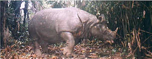 Javan rhino caught in photo trap. / &copy;: WWF / Mike BALTZER