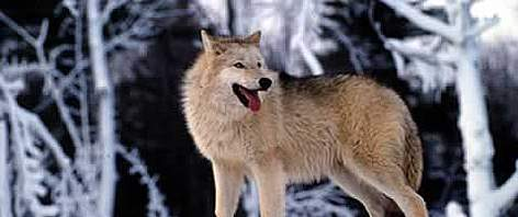Grey wolf (&lt;i&gt;Canis lupus&lt;/i&gt;) In the snow, United States of America. rel=