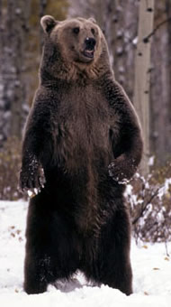 Grizzly bear standing in the snow, Rocky Mountains, USA. / &copy;: WWF-Canon / KLEIN & HUBERT