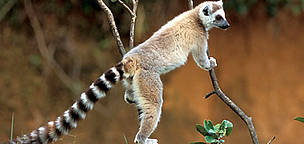 Ring-tailed lemurs live in groups of 5-30 members. They have distinct hierarchies that are enforced ... / ©: WWF-Canon / Homo ambiens / R.Isotti-A.Cambone