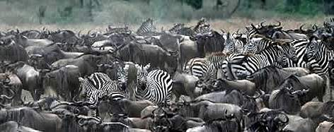 Blue Wildebeest (<i>Connochaetes taurinus</i>), and Burchell's zebra (<i>Equus ... rel=