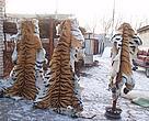 Pieles de Tigres Siberiano Confiscadas