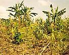 A farmer's maize crop destroyed following a night visit by elephants, Transmara District, Kenya.